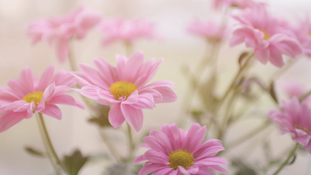 pink-daisy-flower-plant