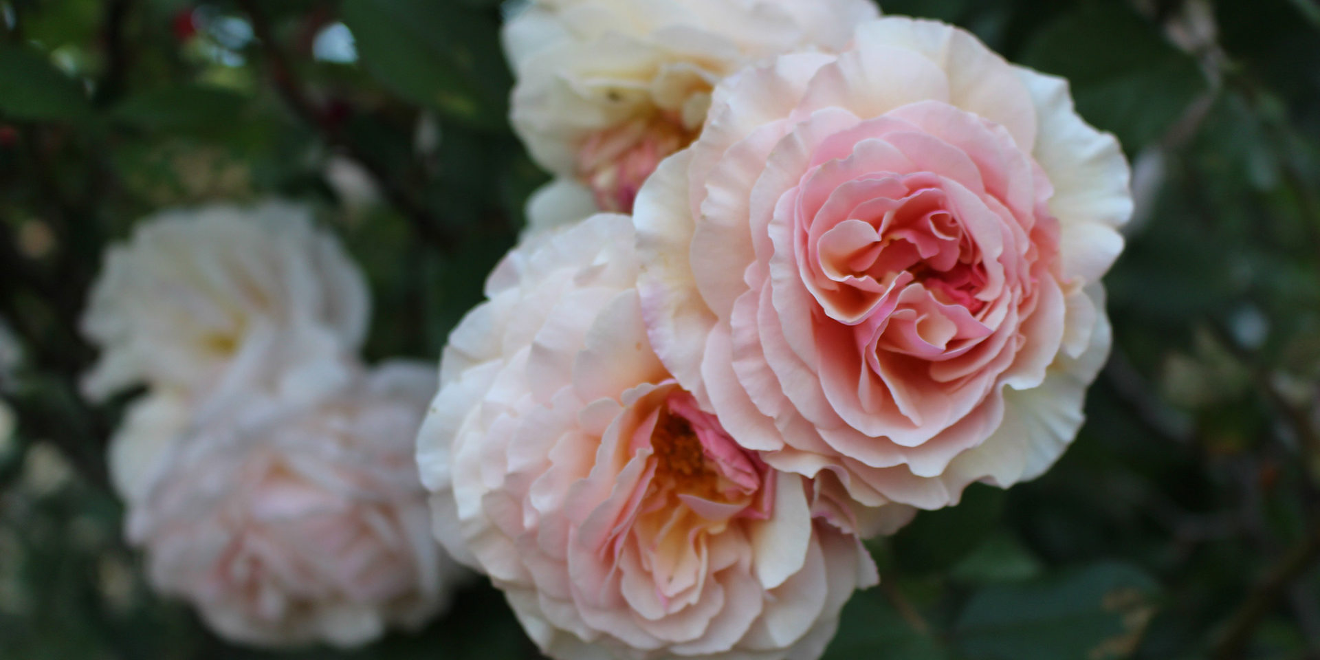 pink-and-white-rose-flowers-during-daytime